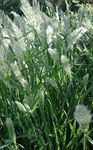 Photo Annual Beard-grass, Annual Rabbitsfoot Grass, green Cereals