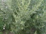 Photo Wormwood, Mugwort, silvery Cereals