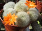 Photo Crown Cactus, orange