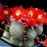 Photo Crown Cactus, red