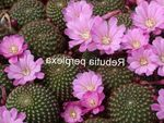 Photo Crown Cactus, lilac