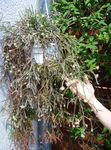 Photo Rhipsalis, white wood cactus