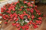 Photo Christmas Cactus, red