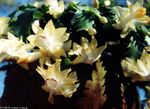 Photo Christmas Cactus, yellow
