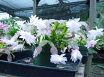 Photo Christmas Cactus, white