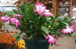 Photo Christmas Cactus, pink