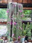 Photo Rat tail Cactus, pink