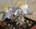Photo Anacampseros, white succulent