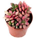 Photo Anacampseros, pink succulent