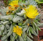 Photo Glottiphyllum, yellow succulent