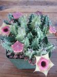 Photo Huernia, pink succulent