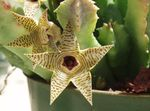 Photo Huernia, yellow succulent