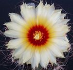 Photo Astrophytum, white desert cactus