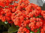 Photo Kalanchoe, red succulent