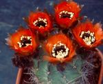 Photo Cob Cactus, red