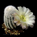 Photo Cob Cactus, white