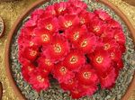 Photo Sulcorebutia, red desert cactus
