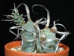 Photo Tephrocactus, white
