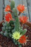 Photo Peanut Cactus, red