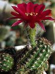Photo Peanut Cactus, claret