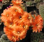 Photo Peanut Cactus, orange