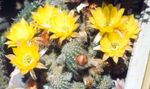 Photo Peanut Cactus, yellow