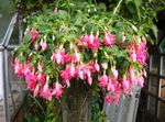 Photo Fuchsia, pink shrub