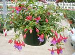 Photo Fuchsia, lilac shrub