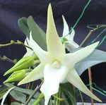 Photo Comet Orchid, Star of Bethlehem Orchid, white herbaceous plant