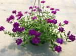 Photo Verbena, purple herbaceous plant