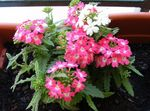 Photo Verbena, pink herbaceous plant