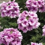 Photo Verbena, lilac herbaceous plant