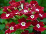 Photo Verbena, claret herbaceous plant