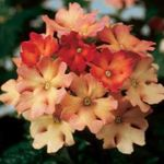 Photo Verbena, orange herbaceous plant