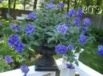 Photo Verbena, dark blue herbaceous plant