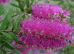 Photo Bottlebrush, lilac shrub