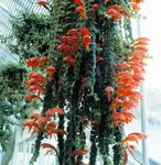 Photo Columnea, Norse Fire Plant, Goldfish Vine, red