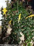 Photo Columnea, Norse Fire Plant, Goldfish Vine, yellow