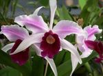 Photo Laelia, pink herbaceous plant