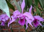 Photo Laelia, lilac herbaceous plant