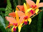 Photo Laelia, orange herbaceous plant