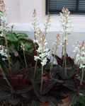 Photo Jewel Orchid, white herbaceous plant