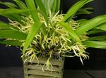 Photo Coconut Pie Orchid, yellow herbaceous plant