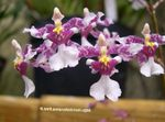 Photo Dancing Lady Orchid, Cedros Bee, Leopard Orchid, lilac herbaceous plant