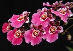 Photo Dancing Lady Orchid, Cedros Bee, Leopard Orchid, pink herbaceous plant