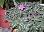 Photo Monkey Plant, Red ruellia, pink