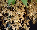 Photo Coelogyne, brown herbaceous plant