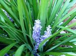 Photo Variegated Lily Turf, light blue herbaceous plant