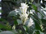 Photo White candles, Whitefieldia, Withfieldia, Whitefeldia, white shrub