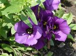 Photo Texas Bluebell, Lisianthus, Tulip Gentian, purple herbaceous plant